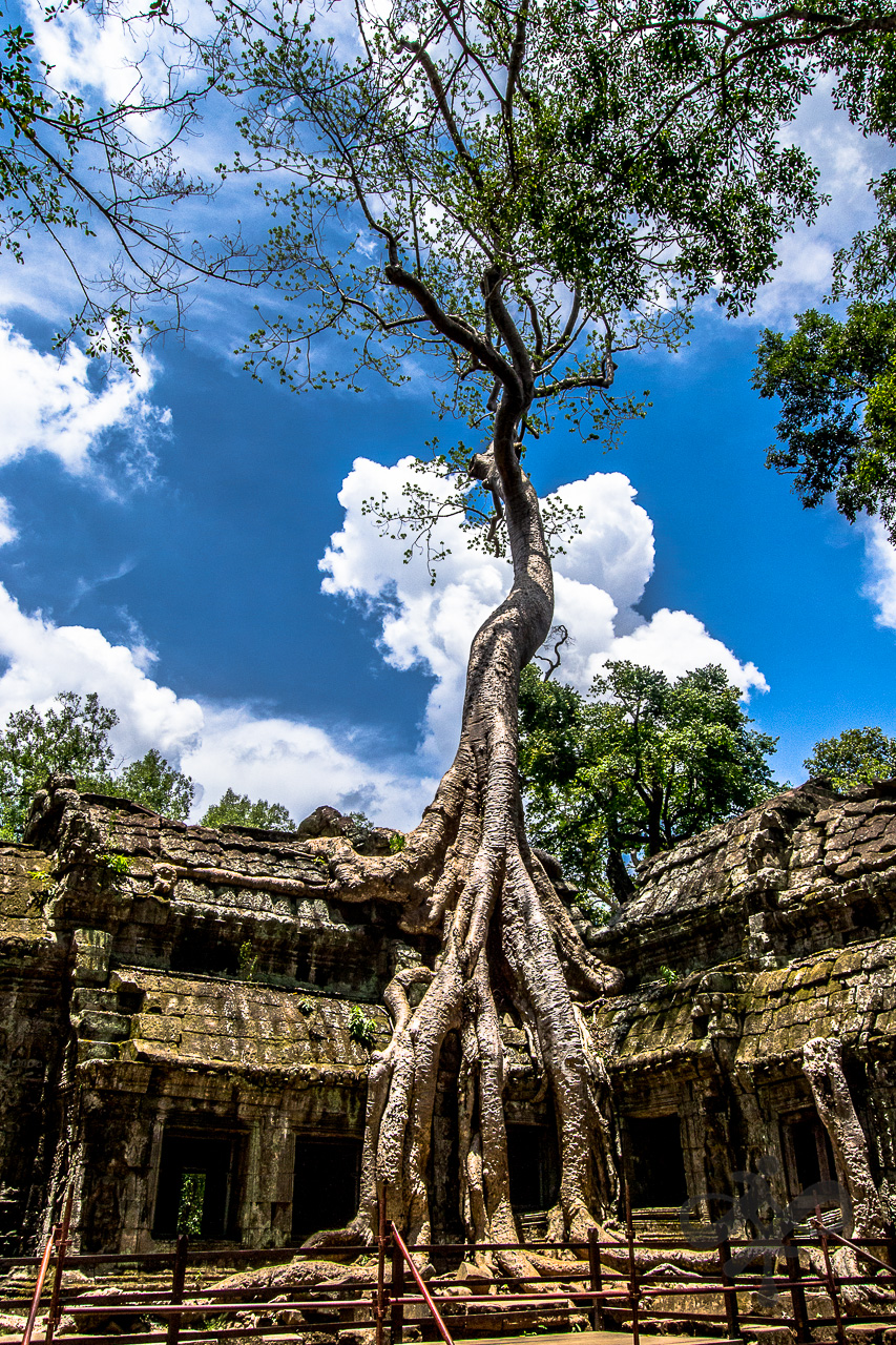 Tree growing in ruins - Siam riep
